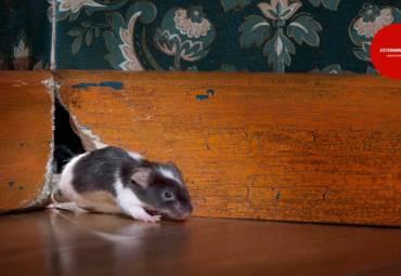 Μυοκτονίες. Αρουραίοι και ποντίκια. Πόσο επικίνδυνα μπορούν να είναι και πως να απαλλαγείτε από αυτά